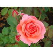 Rose 'Easy Elegance Kiss Me' (Large Plant) - 1 x 3 litre potted rosa plant