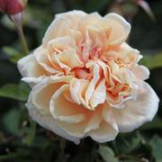 Rose 'Gloire de Dijon' (Large Plant) - 1 x 3 litre potted rosa plant