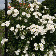 Rose 'Klettermaxe Hella' (Large Plant) - 1 x 5 litre potted rosa plant