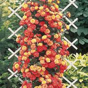 Rose 'Climbing Masquerade' - 2 bare root rose plants