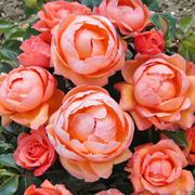 Rose 'Lady Marmalade' (Floribunda) - 1 bare root rose plant + 100g of incredibloom®