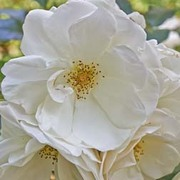 Rose rugosa 'Alba' (Species Shrub Rose) (Large Plant) - 2 x 3.5 litre potted rose plants