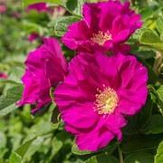 Rose rugosa 'Rubra' (Species Shrub Rose) (Large Plant) - 1 x 3.5 litre potted rose plant