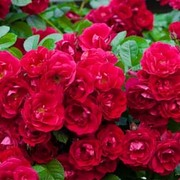 Rose 'Red Fairy' (Polyantha) (Large Plant) - 1 x 3.5 litre potted rose plant
