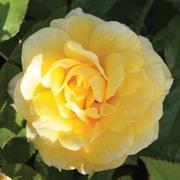 Rose 'Easy Elegance Yellow Brick' (Shrub Rose) (Large Plant) - 2 x 3 litre potted rose plants