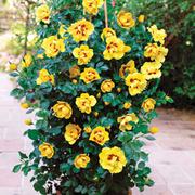 Rose 'Eye of the Tiger' (Shrub Rose) - 1 bare root rose plant