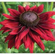 Rudbeckia hirta 'Cherry Brandy' - 36 rudbeckia plug plants