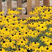 Rudbeckia fulgida var sullivantii 'Goldsturm' (Large Plant) - 1 x 1 litre potted rudbeckia plant