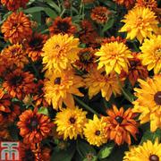 Rudbeckia hirta 'Cherokee Sunset' (Garden Ready) - 30 rudbeckia garden ready plants