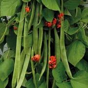 Runner Bean 'Benchmaster' - 1 packet (40 runner bean seeds)