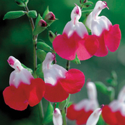 Salvia x jamensis 'Hot Lips' (Large Plant) - 1 x 2 litre potted salvia plant