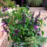 Salvia 'Amistad' (Large Plant) - 1 x 1 litre potted salvia plant