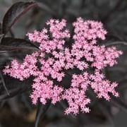 Sambucus nigra f. porphyrophylla 'Black Beauty' (Large Plant) - 1 x 3.5 litre potted sambucus plant