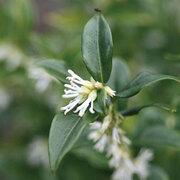 Sarcococca hookeriana var. humilis - 1 x 9cm sarcococca plant