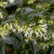 Sarcococca confusa (Large Plant) - 1 x 2 litre potted sarcococca plant