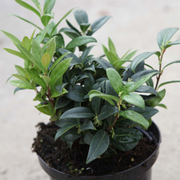 Sarcococca hookeriana var. humilis (Large Plant) - 1 x 2 litre potted sarcococca plant