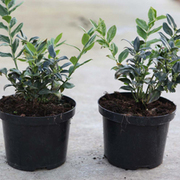 Sarcococca ruscifolia (Large Plant) - 1 x 2 litre potted sarcococca plant