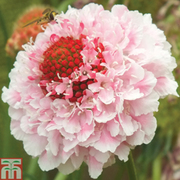 Scabious 'Scoop Collection' - 12 scabiosa jumbo plug plants - 3 of each variety