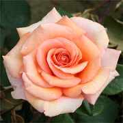 Scented Celebration Rose 'Warm Wishes' - Gift - 1 x 3 litre potted rose plant