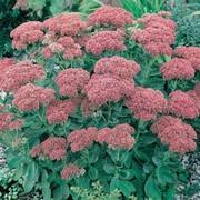 Sedum 'Herbstfreude' (Large Plant) - 1 x 1 litre potted sedum plant