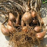 Shallot 'Eschalote Grise' (Autumn Planting) - 20 shallot bulbs