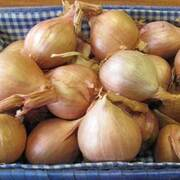 Shallot 'Hative de Niort' (Autumn Planting) - 5 shallot bulbs