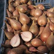 Shallot 'Jermor' (Autumn Planting) - 20 shallot bulbs