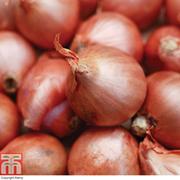Shallot 'Red Gourmet' (Spring Planting) - 20 shallot sets