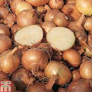 Shallot 'Golden Gourmet' (Spring planting) - 20 shallot sets