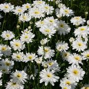 Shasta Daisy 'Fair Lady' (Large Plant) - 1 x 1 litre potted Shasta Daisy plant