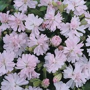 Silene pendula 'Peach Blossom' - 1 packet (80 silene seeds)
