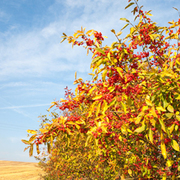 Spindle (Hedging) - 1 bare root hedging plant