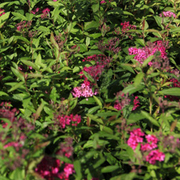 Spiraea japonica 'Anthony Waterer' (Large Plant) - 1 x 3.6 litre potted spiraea plant