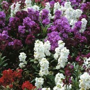 Stock 'Dwarf Mixed' (Brompton Stocks) - 1 packet (100 stock seeds)