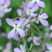 Stock 'Night Scented' - 1 packet (2000 stock seeds)