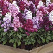 Stock 'Cinderella Series Mixed' - 1 packet (50 stock seeds)