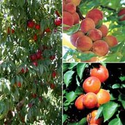 Stone Fruit Collection - 2 feathered maidens - 1 of each variety