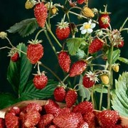 Strawberry 'Mignonette' - 1 packet (320 strawberry seeds)