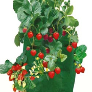 Strawberry Patio Planter - 2 strawberry patio planters
