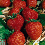 Strawberry 'Flamenco' (Everbearer/ All Season) - 12 strawberry bare roots