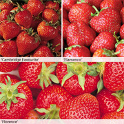 Strawberry Full Season Collection - 12 strawberry bare roots - 4 of each variety