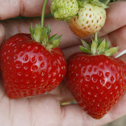Strawberry 'Finesse' (Everbearer/ All Season) - 6 strawberry plants