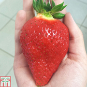 Strawberry 'Sweet Colossus' - 1 x 9cm potted strawberry plant