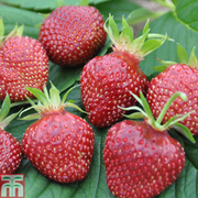 Strawberry 'Cherry Berry' - 3 x 7cm potted strawberry plants