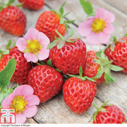 Strawberry 'Just Add Cream™' - 5 strawberry jumbo plug plants
