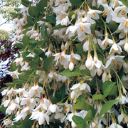 Styrax 'Fragrant Fountain' - 1 x 3 litre potted styrax plant