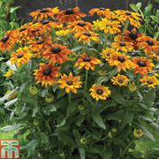 Rudbeckia 'Summerina Collection' - 3 rudbeckia jumbo plug plants