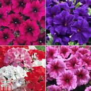 Summer Border Collection - 36 plug plants + 200g fertiliser