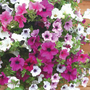 Petunia 'Trailing Surfinia Mixed' (Pre-Planted Basket) - 1 x petunia pre-planted basket with 3 plants