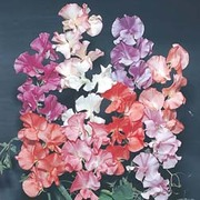 Sweet Pea 'T&M Prize Strain Mixed' - 1 packet (45 sweet pea seeds)